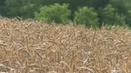 Stock Video Footage of NAT-0019 Wheat field 2