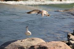 Seagulls going for fish - stock photo