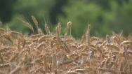 Stock Video Footage of NAT-0022 Wheat field tilt