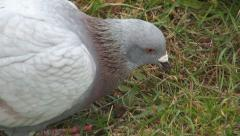 Hungry Pigeons Searching Food, Eating Pigeon in Grass, Close Up Doves in Park Stock Footage