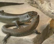 Pair of Shingleback Lizard (Tiliqua rugosa) on rock Stock Footage
