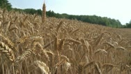 Stock Video Footage of NAT-0025 Wheat field slider shot