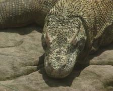 Komodo dragon (Varanus komodoensis) close up Stock Footage