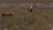 Stock Video Footage of Herding a longhorn cow