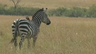 Zebra give a warning snort Stock Footage