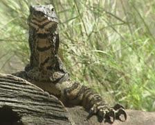 Goanna (Varanus varius) monitor lizard - medium shot Stock Footage