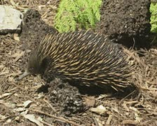 Echidna (Tachyglossus aculeatus) running, tracking shot Stock Footage
