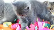 Stock Video Footage of small kittens playing