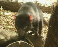 Tasmanian devil (Sarcophilus harrisii) 01 Stock Footage