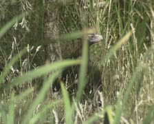 Wedge-tailed Eagle (Aquila audax) Eaglehawk in grass on ground Stock Footage