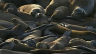 Sea Lions Writhing in Unrest and Aggression 1 Stock Footage