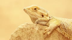 Bearded dragon/Australian lizard sitting on a rock Stock Footage