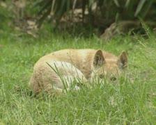 Dingo (Canis lupus dingo) lying in grass Stock Footage