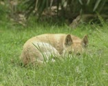 Stock Video Footage of dingo (Canis lupus dingo) lying in grass
