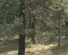 Dingo (Canis lupus dingo) runs in pine forest, australian outback Stock Footage
