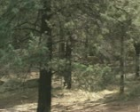 Stock Video Footage of dingo (Canis lupus dingo) runs in pine forest, australian outback