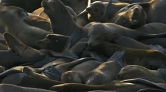 Sea Lions Writhing in Unrest and Aggression 2 Stock Footage