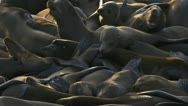 Stock Video Footage of Sea Lions Writhing in Unrest and Aggression 2