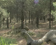 Dingo (Canis lupus dingo) runs in pine forest Stock Footage
