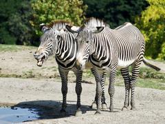 Two Grevy zebras near a pond Stock Photos