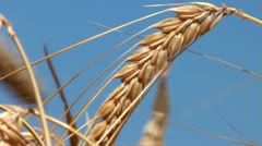 Barley crop - stock footage