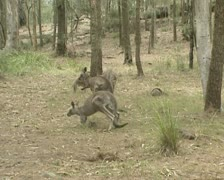 Eastern grey kangaroo  mob in eucalyptus forest Stock Footage