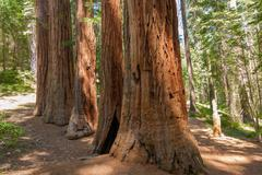 Yosemite national park - mariposa grove redwoods Stock Photos