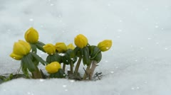 Spring flowers in a late winter snowfall Stock Footage