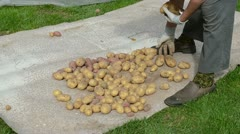 Old woman hands pick gather harvest natural potatos cook Stock Footage