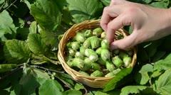 Hand picks ripe hazel nutwood nuts wicker wooden dish Stock Footage