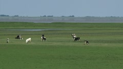 Cattle in grassland polder, marshes at low tide zoom out Dollard, Groningen, Stock Footage