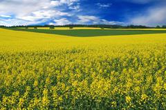 Stock Photo of Field of oilseed rape