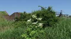 Heracleum mantegazzianum, giant hogweed in bloom, polder in background Stock Footage