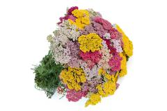 Bouquet of yarrow (lat. achill?a), isolated on white background Stock Photos