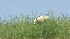 Lamb grazes in high grass on top of sea dike against a blue sky Stock Footage