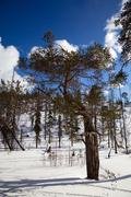 An unusual pine tree in winter forest Stock Photos