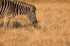 Stock Photo of zebra #6