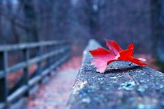 Red autumn leaf on old wooden bridge Stock Photos