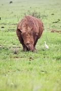 Mud encrusted rhinoceros eating green grass on a rainy day Stock Photos