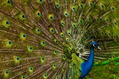 Stock Photo of beautiful peacock feathers.