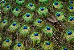 Stock Photo of peacock feathers.