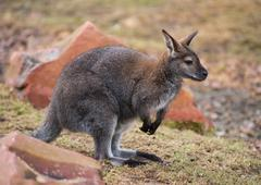 Stock Photo of wallaby: wildlife and animals of australia