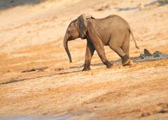 Stock Photo of african elephants