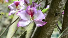 Orchid flowers on Bauhinia-Orchid tree Stock Footage