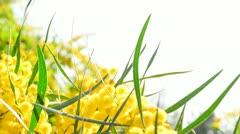 Ladybird walks upon mimosa green leaf Stock Footage