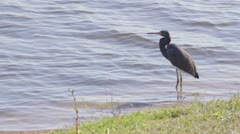 Blue Heron (2 of 2) Stock Footage