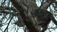 Stock Video Footage of Feral Cat climbing Apple Tree