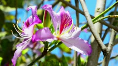 Beautiful pink flowers of the orchid tree - stock footage