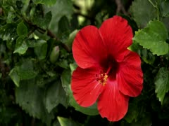 Red Hibiscus - stock footage