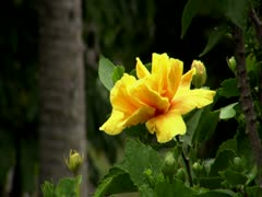 Yellow Hibiscus Stock Footage